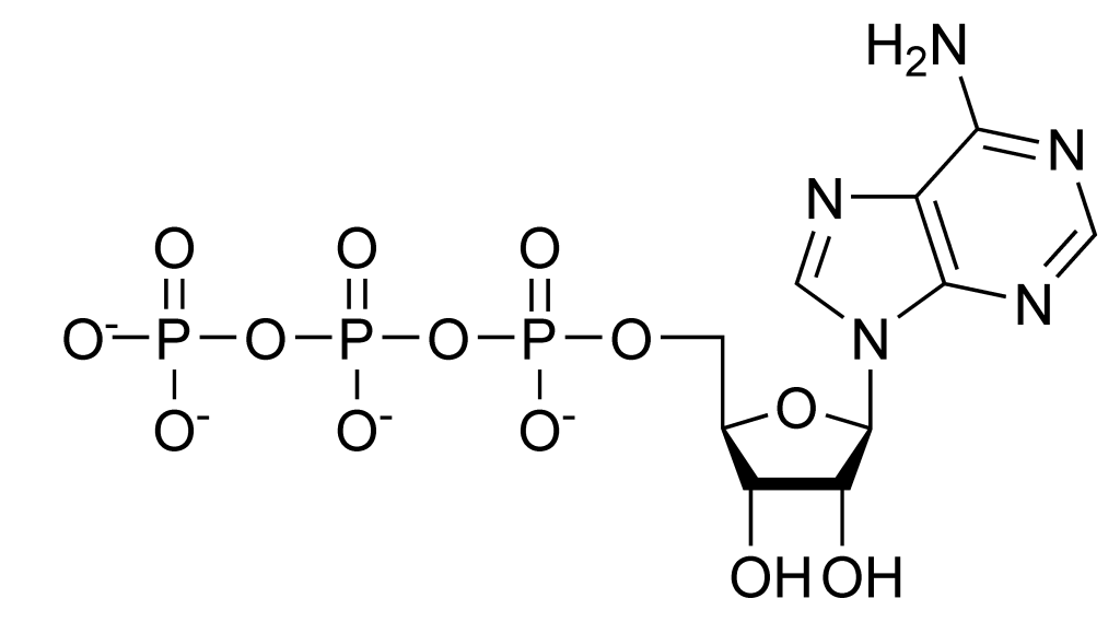 The chemical structure of ATP shows three high energy phosphate bonds.