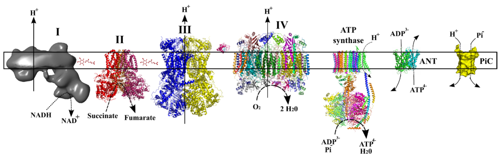 The protein structures of the electron transport chain of the mitochondrion. These complex structures harvest energy and pump protons so that AdP can be recycled back to ATP.